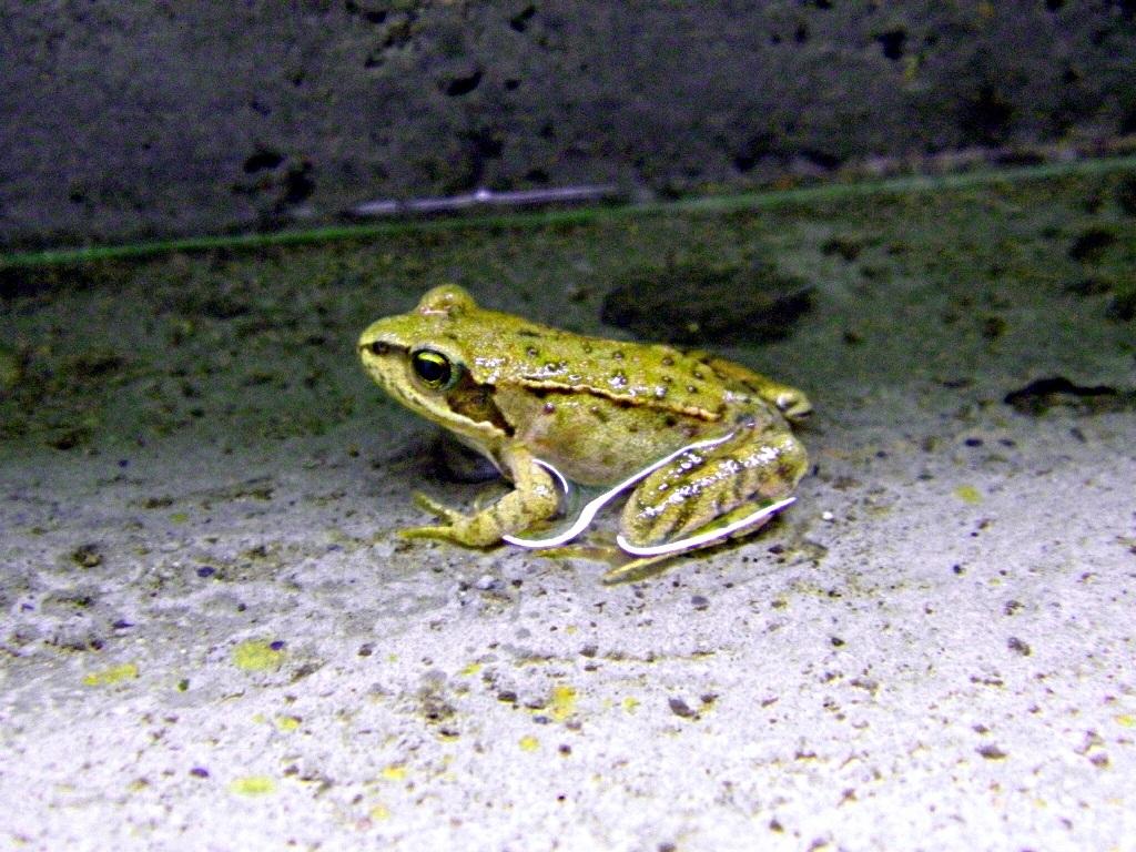 Was ist das für ein Frosch? - Forum Froschnetz