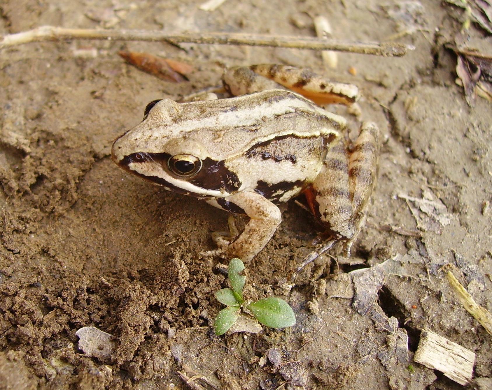 Froschnetz - Moorfrosch rana arvalis
