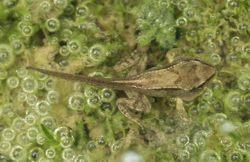 Froschnetz entwicklung von der kaulquappe zum frosch for Larven im teich
