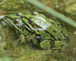 Froschnetz - Paarung der Amphibien Frösche Kröten