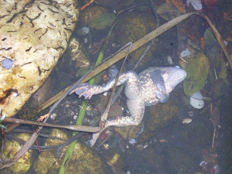 Ganz und zu Extrem 25 Frösche in Winterstarre im Teich... - Forum Froschnetz @FU_15
